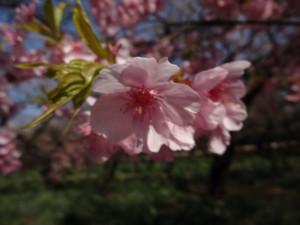 新宿御苑の梅は満開