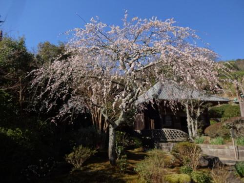海蔵寺のしだれ梅