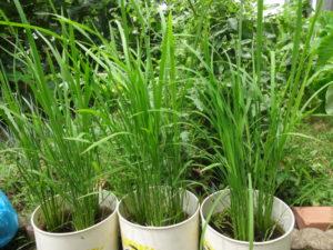 みやけ米 育つ。