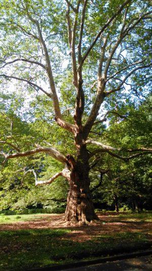 新宿御苑 モミジバスズカケの木